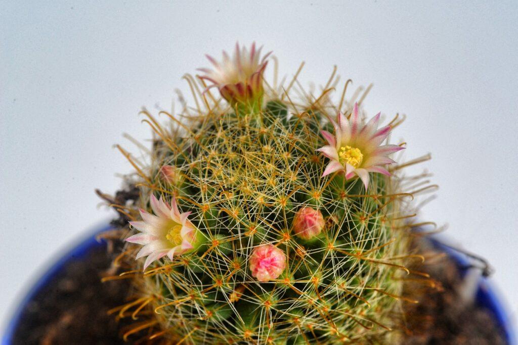 Fleur rose blanche en fleurs de cactus de paon de mammillaria
