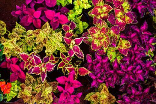 différentes feuilles de coleus avec des bordures de différentes couleurs