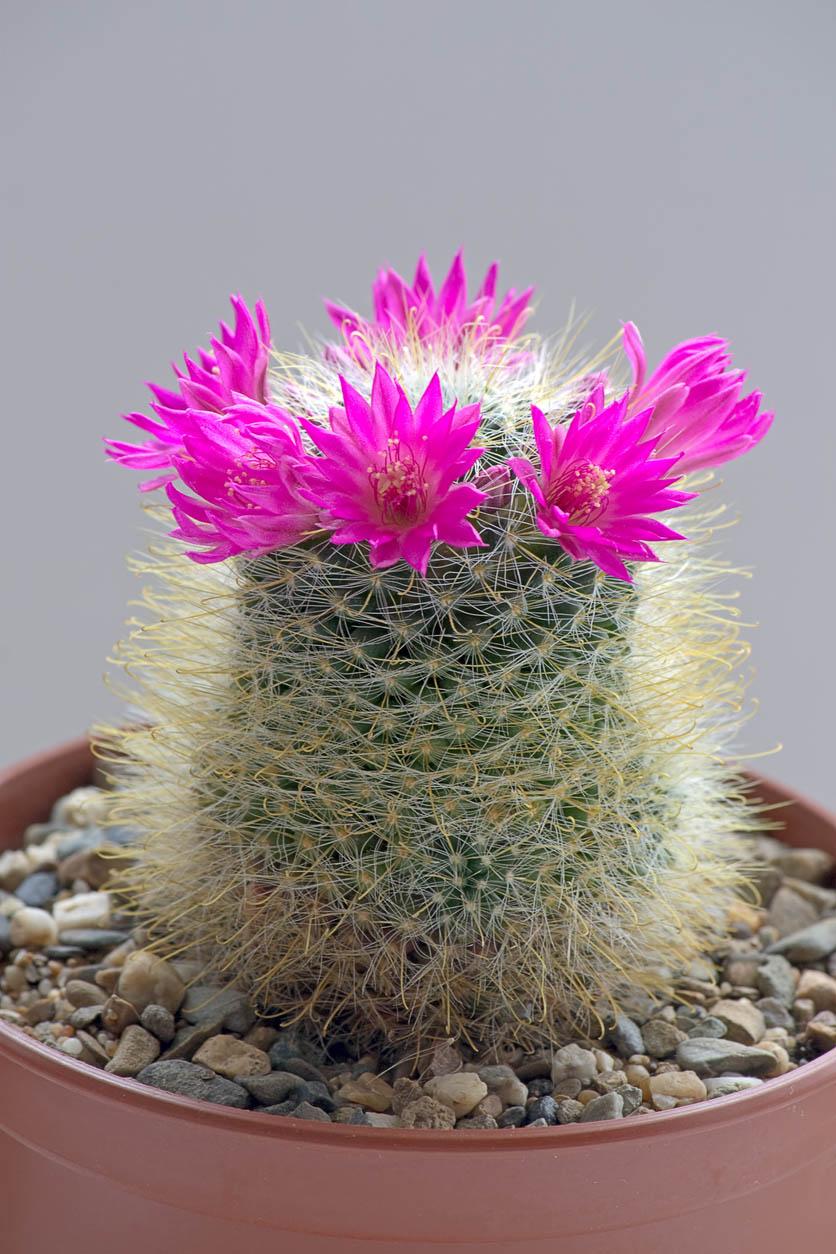 Éclosion d'une fleur de cactus Mammillaria
