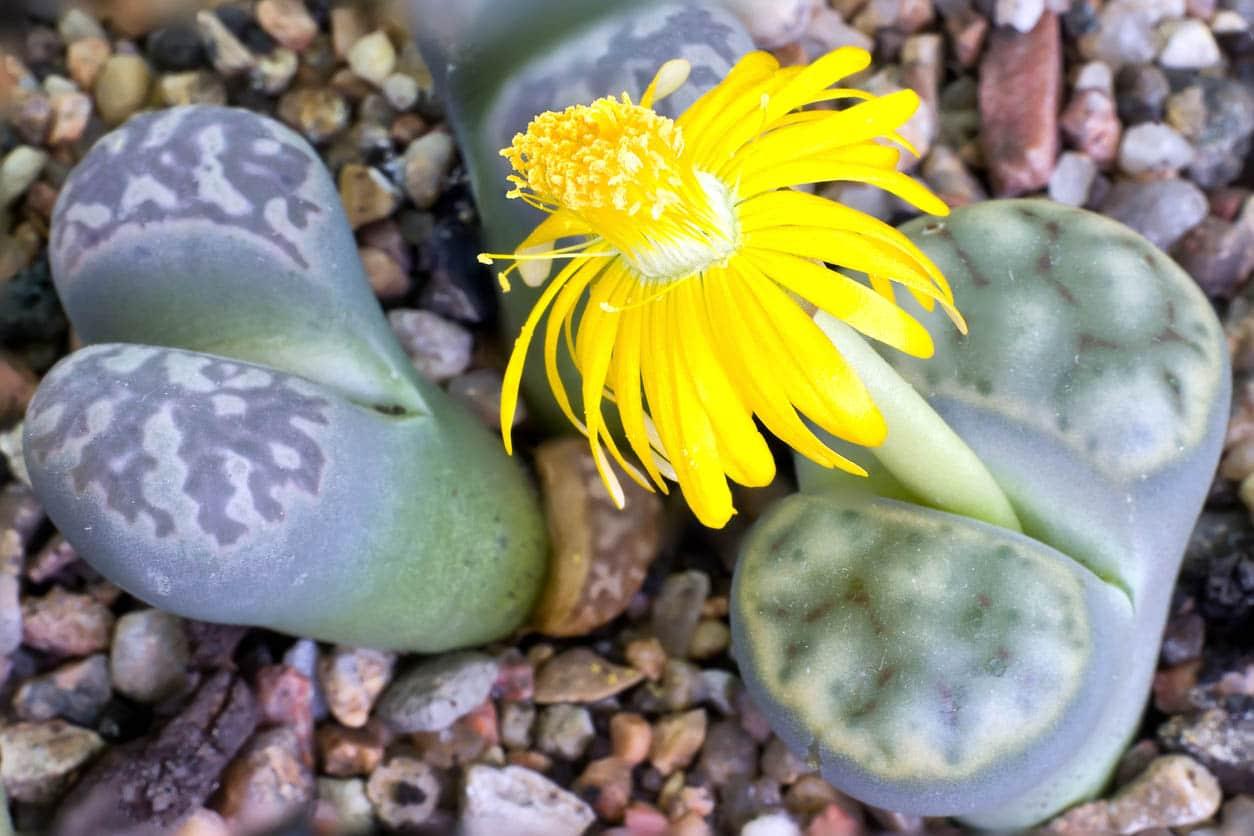 Lithops floraison fleur jaune