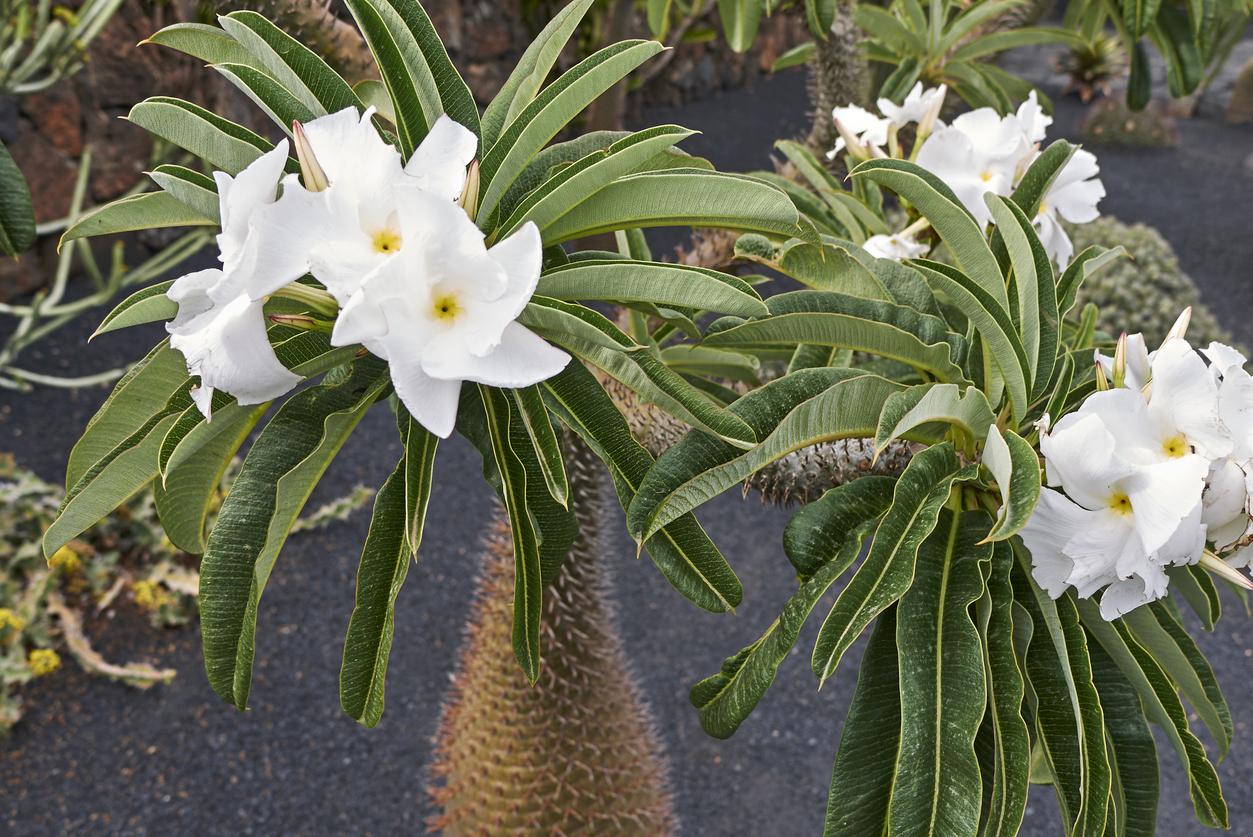 Pachypodium lamerei en floraison