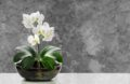 Orchidée blanche dans un pot de verre
