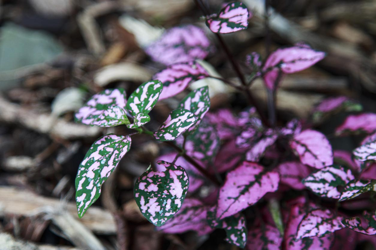 Hypoestes parsemées de feuilles rose violine