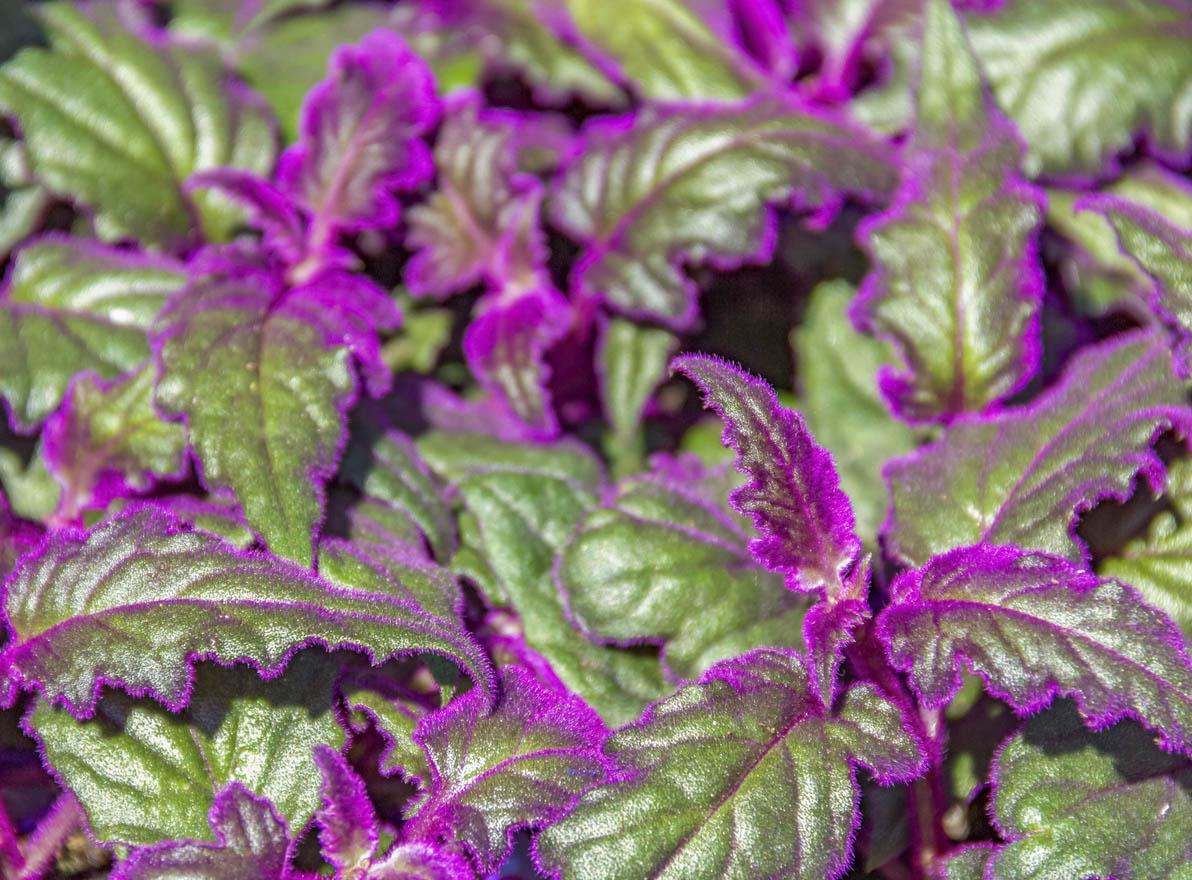 Détail de plante Gynura