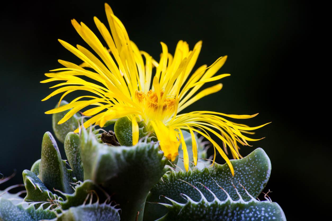 Floraison de feuilles jaunes de la Faucaria tigrina