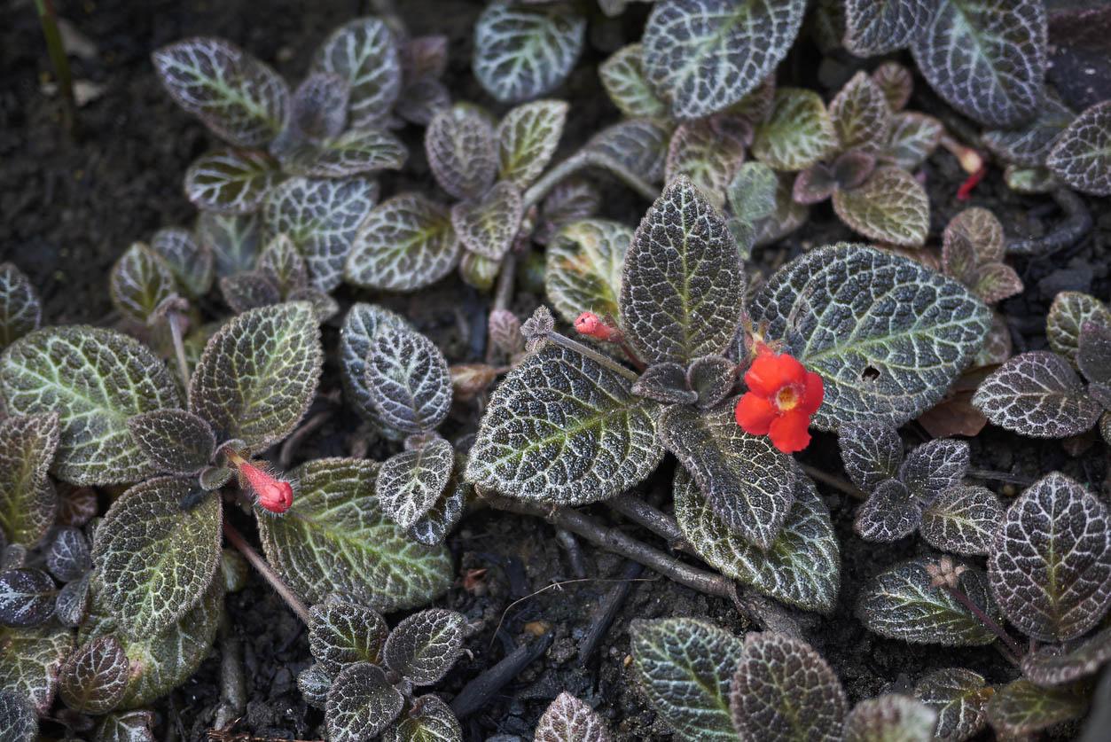 episcia cupreata violette