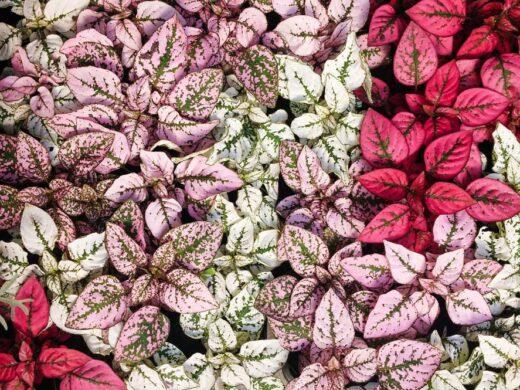 Hypoestes phyllostachya, plante de jardin avec un beau feuillage