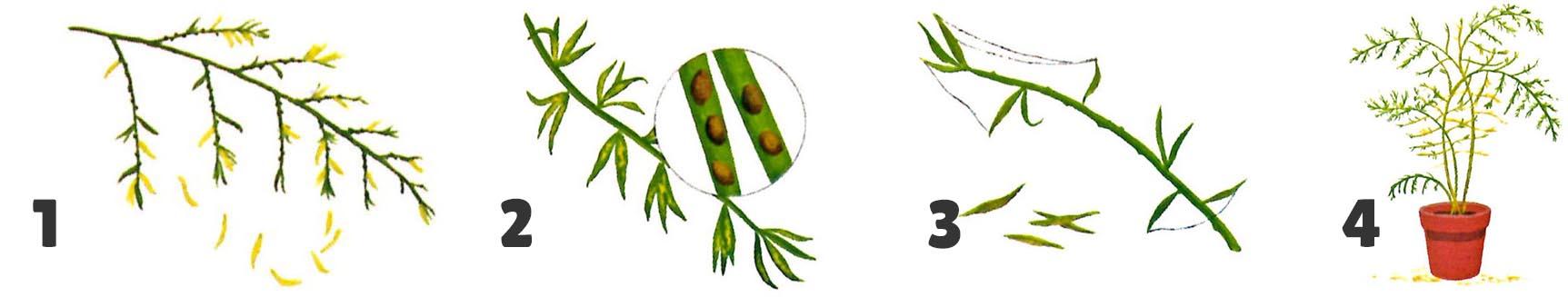 Maladies Illustration Asparagus