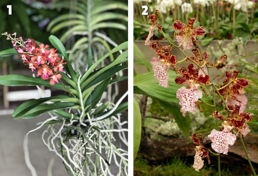Orchidee Sympode Et Monopode