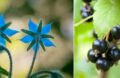 Plante Anti Limaces