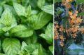 Plante Anti Pucerons