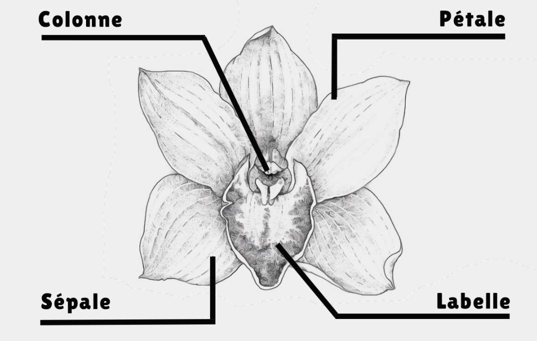Structure De Le Fleur D'orchidee