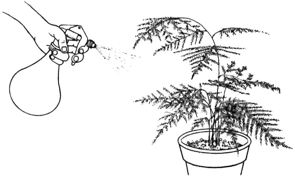 Vaporisation Asparagus Plumosus