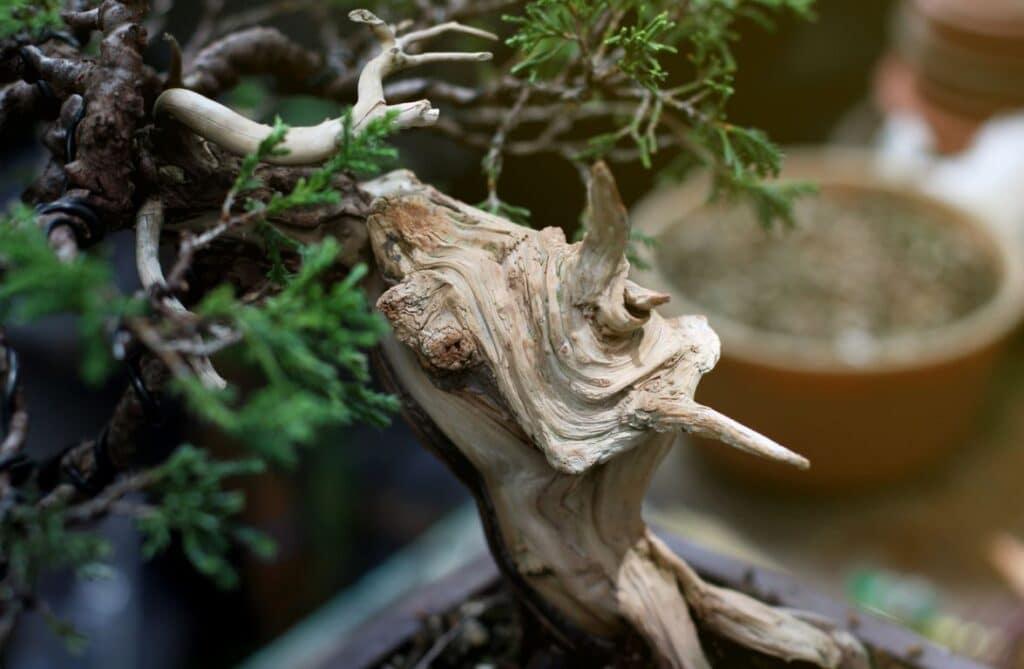 Bonsai Plante D'intérieur