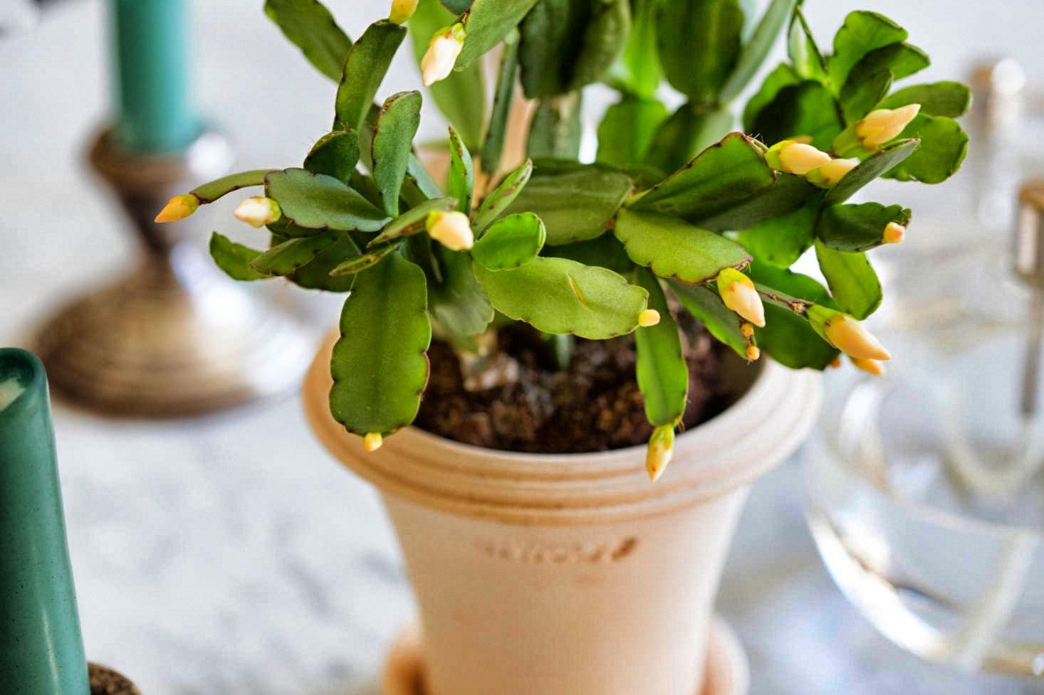 Cactus De Paques En Floraison Snapseed
