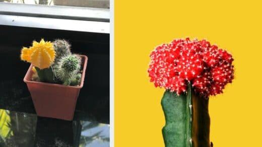 Deux Varietes Cactus Greffes