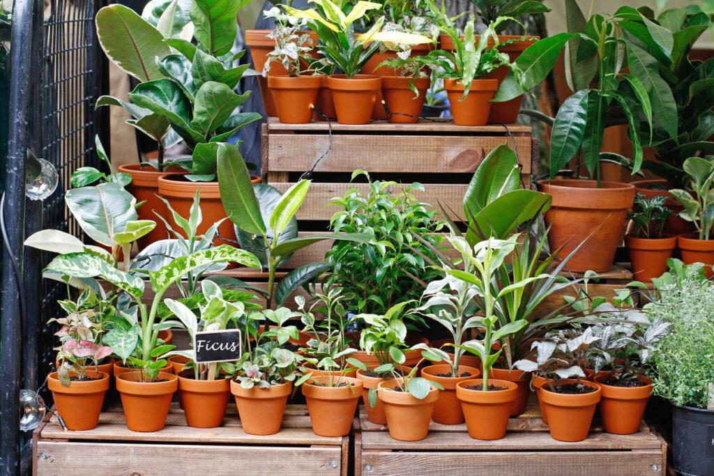 Différentes Variétés De Ficus