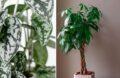 Grande Plante D'intérieur