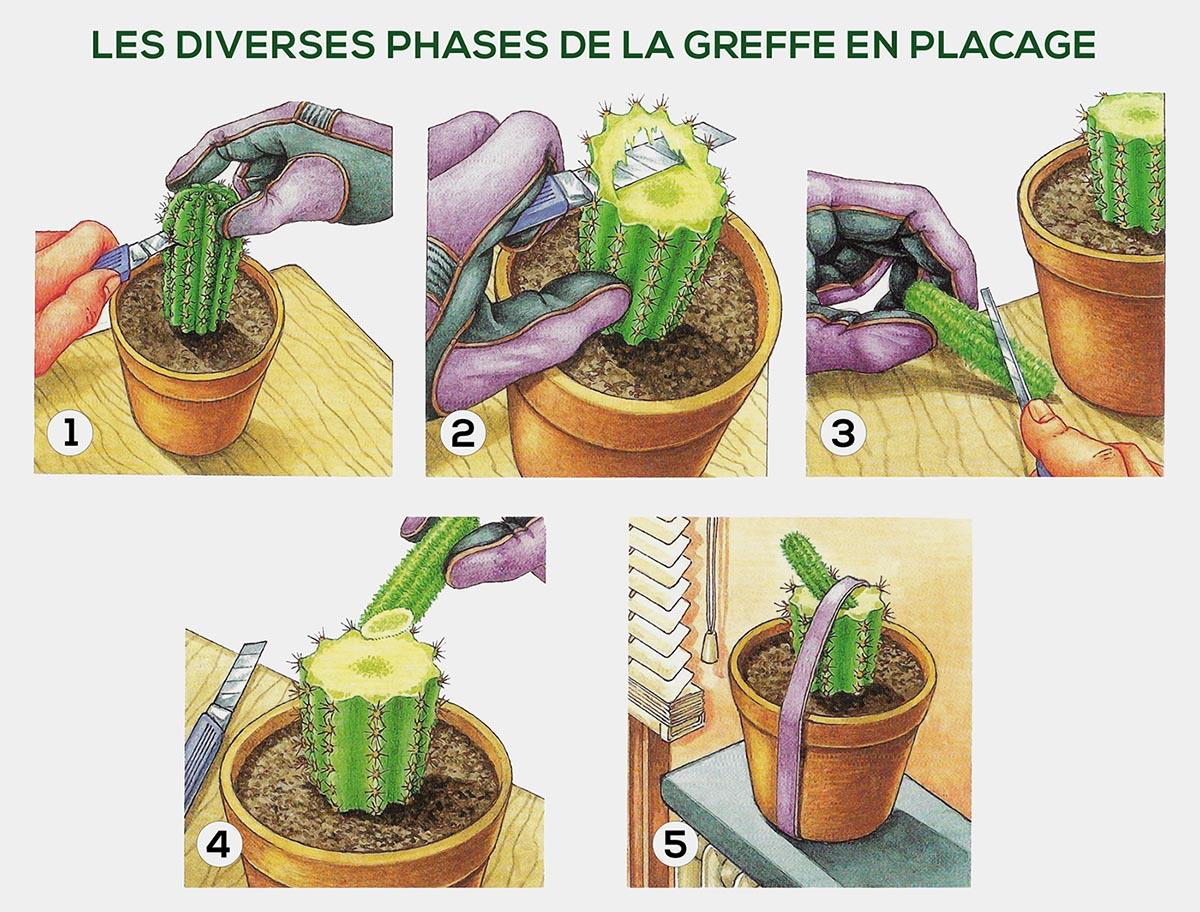 Greffe Cactus