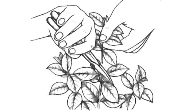 Illustration De La Taille Gardenia