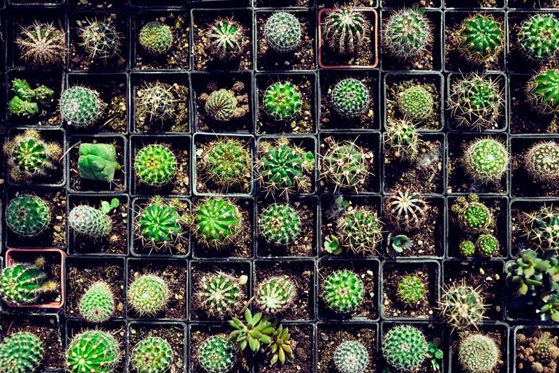 beacoup de bouture cactus