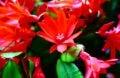 Floraison fleurs rouges cactus de Pâques