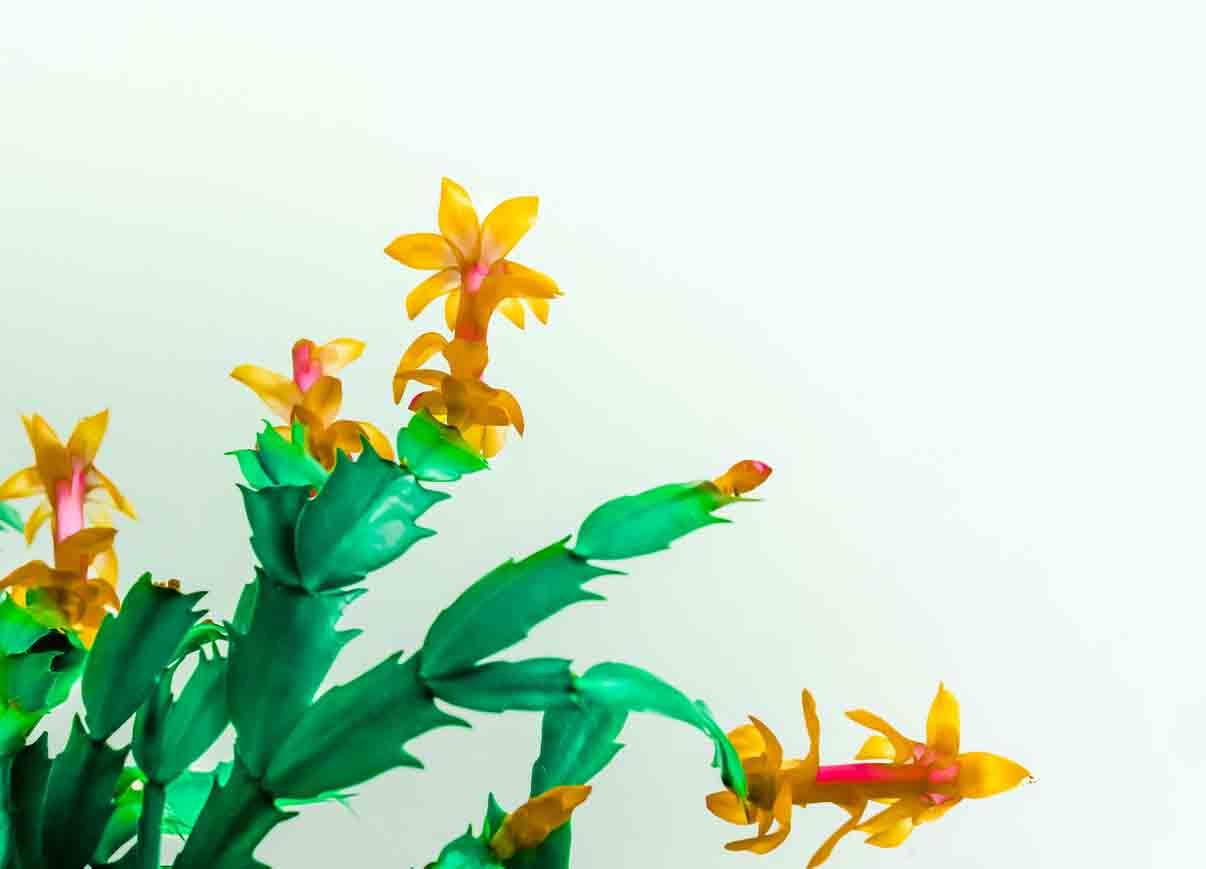 cultivar de cactus de noel aux fleurs jaunes