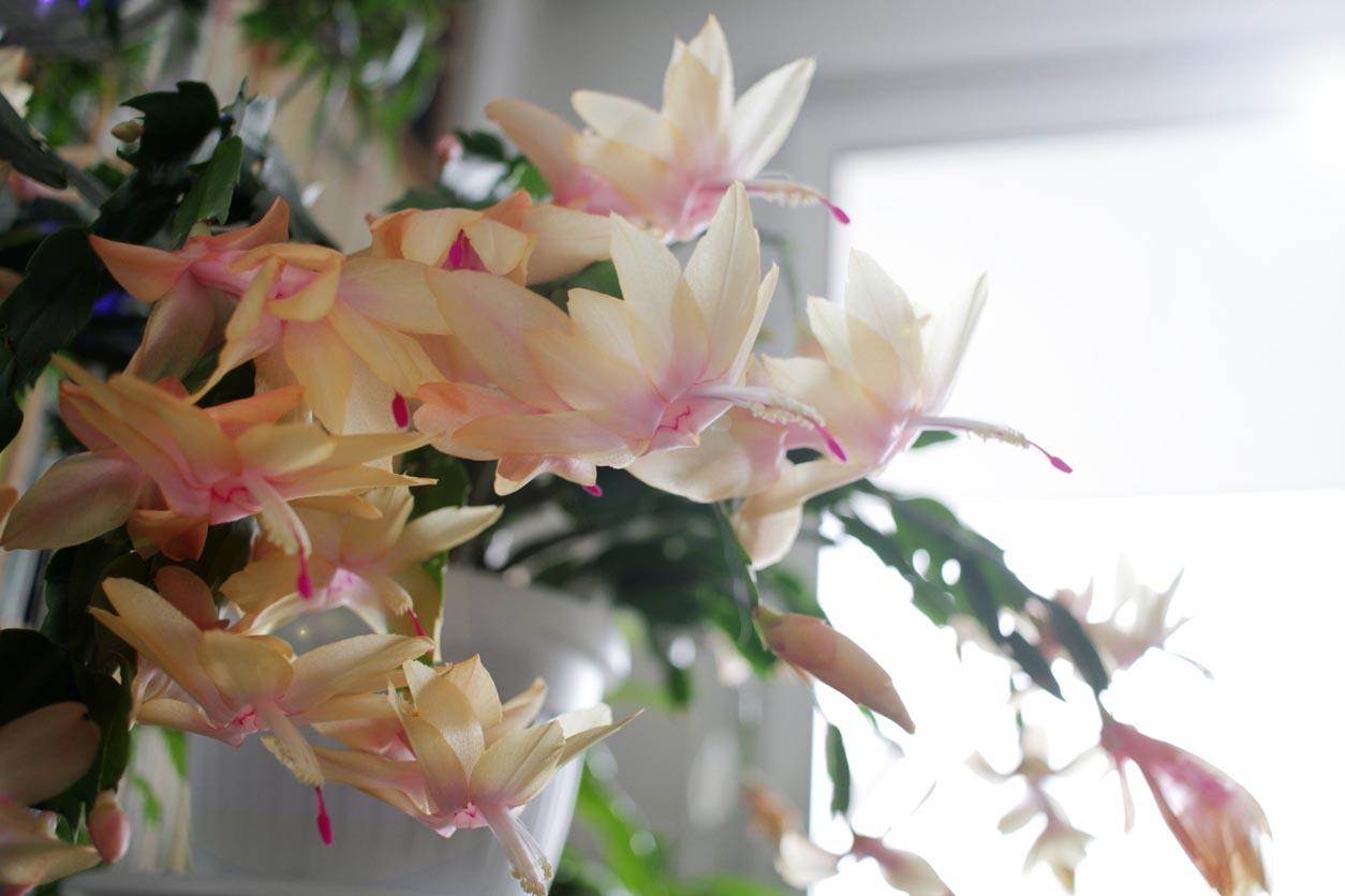 Cactus de Noel ou Schlumbergera truncata aux fleurs blanches et roses