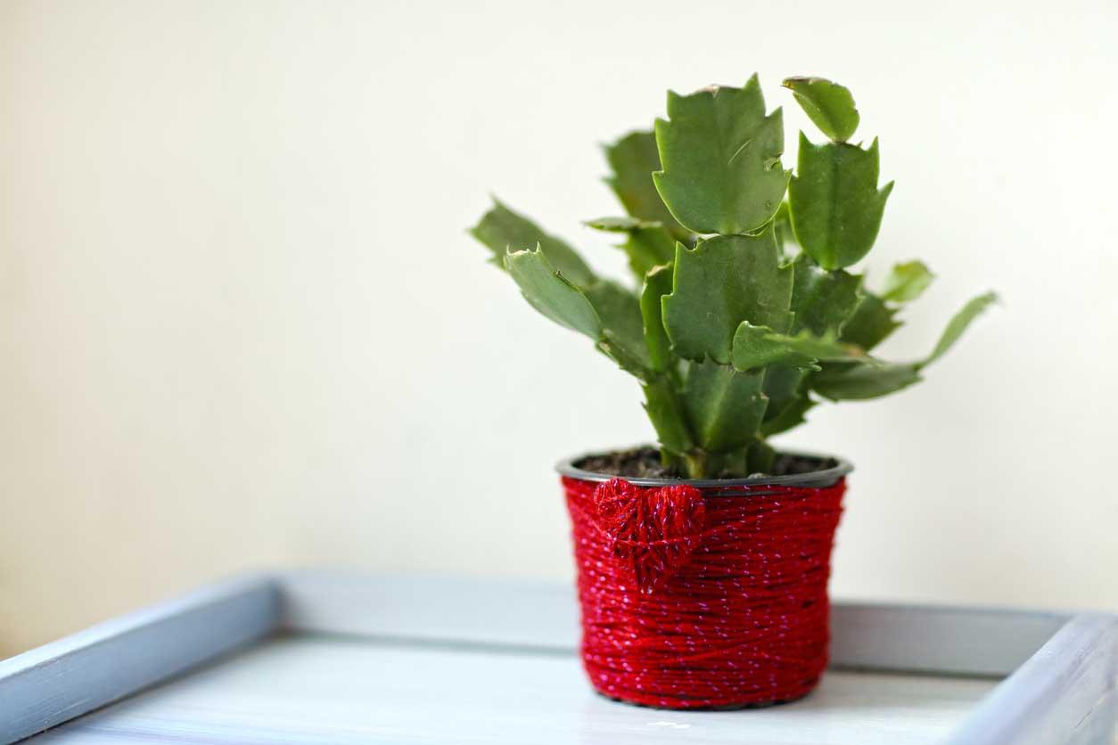 Cactus de noel sans fleur sur le bord de la fenetre