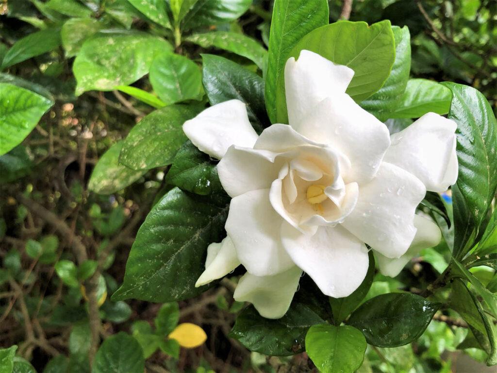 magnifique fleur Gardenia jasminoides