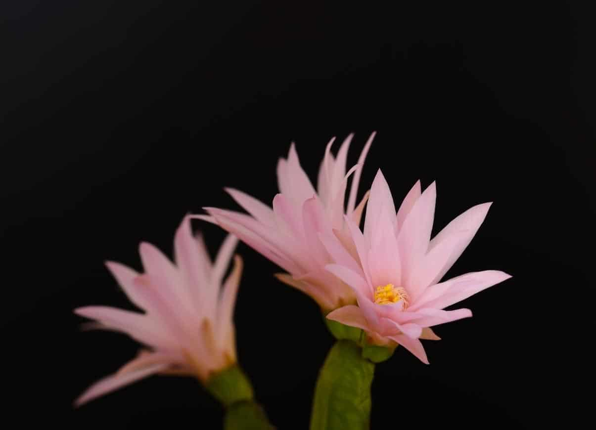 Istock fleurs roses rhipsalidopsis