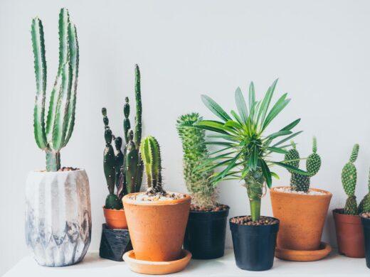 plusieurs variétés de cactus en pot