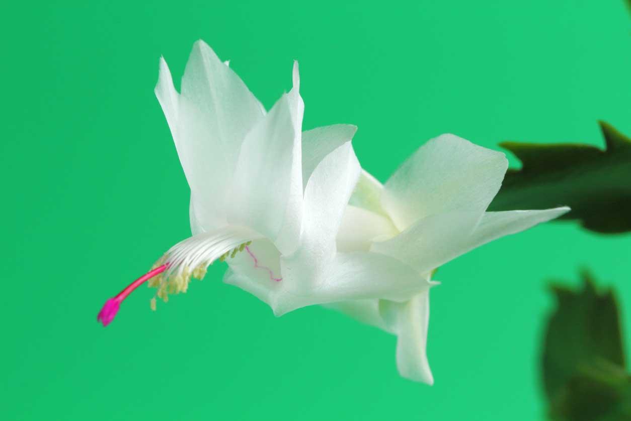gros plan sur une fleur blanche de cactus de Noël