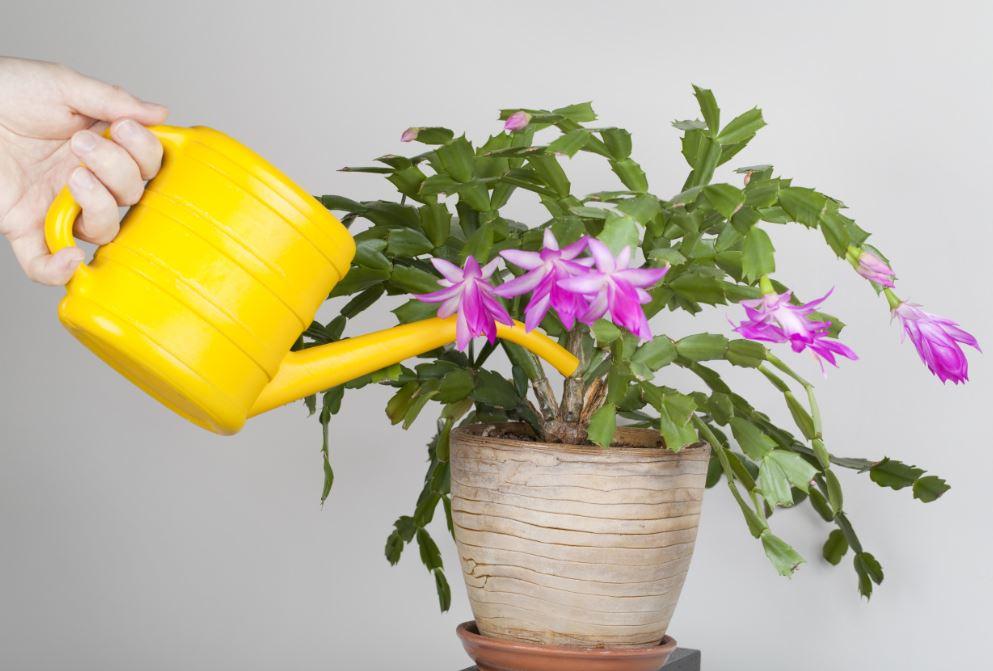 Cactus de noel aux fleurs roses en train d'etre arrosé