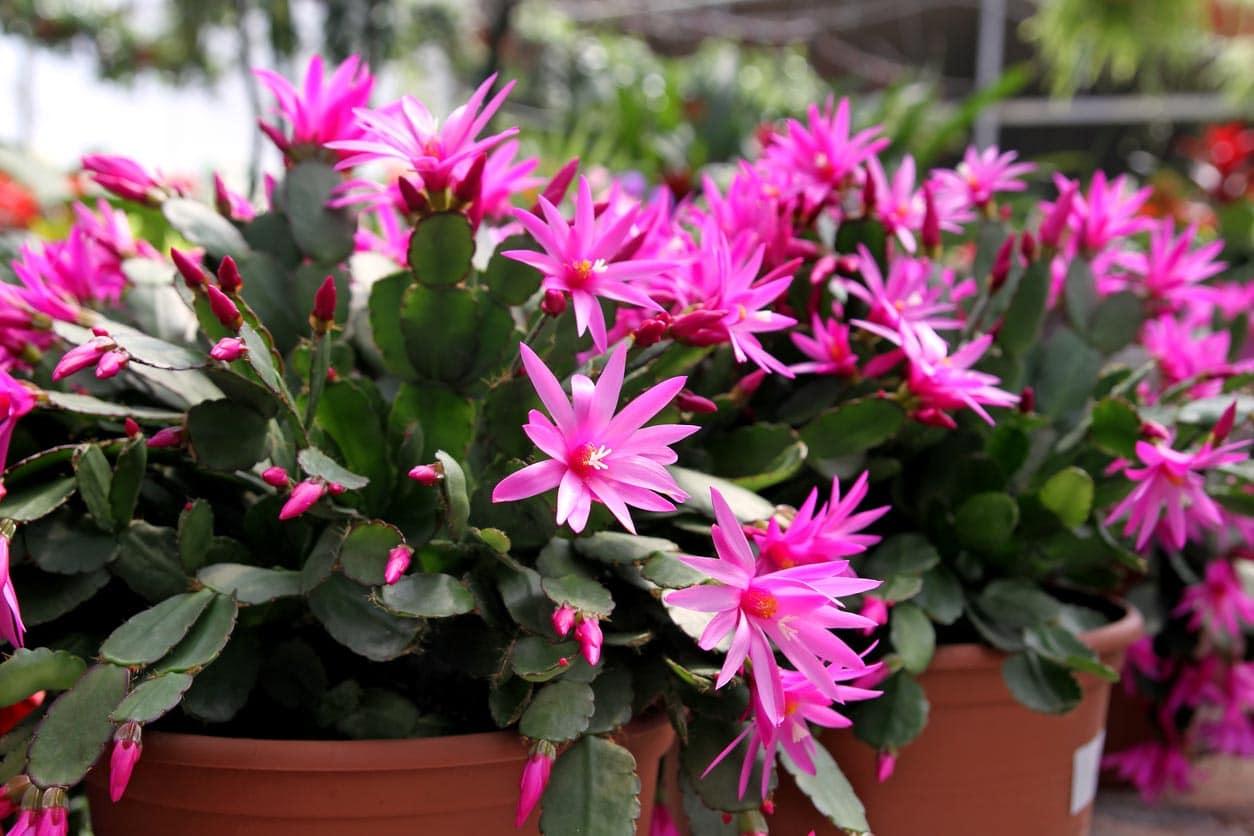 Rhipsalidopsis ou cactus de Pâques
