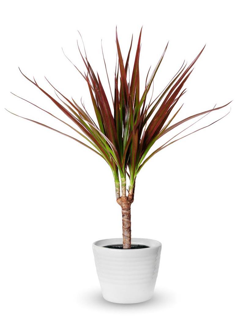 dracaena marginata en pot