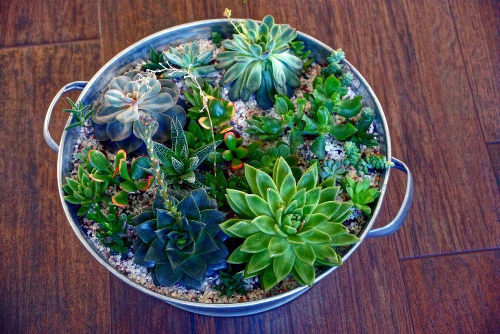 différentes variétés de cactus en semis