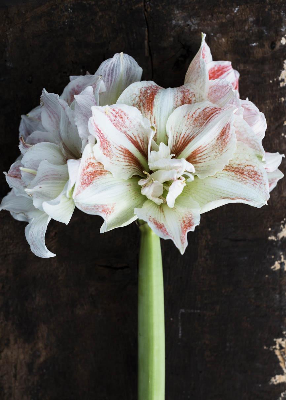 amaryllis Apple Blossom Hippeastrum