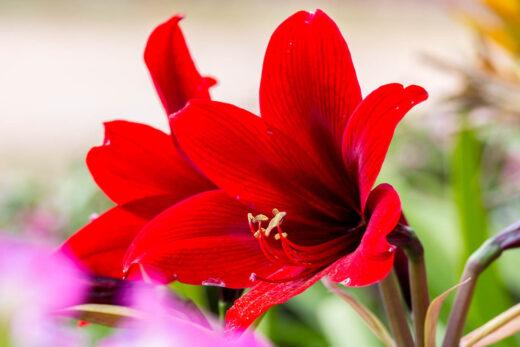 Amaryllis rouge Hippeastrum