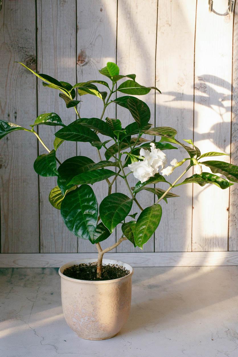 Fleur Gardenia Jasmin