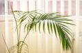 Gros plan d'un palmier kentia howea