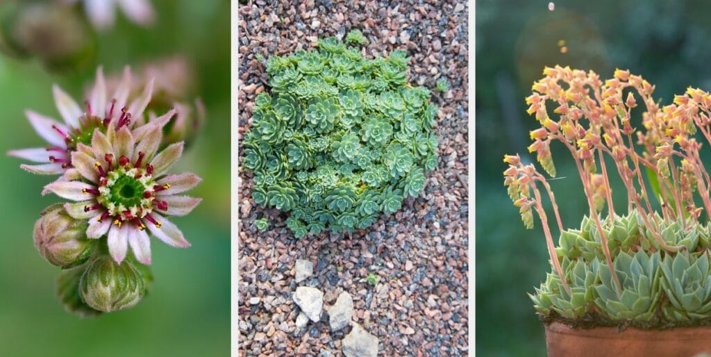 3 plantes succulentes echeveria elegans
