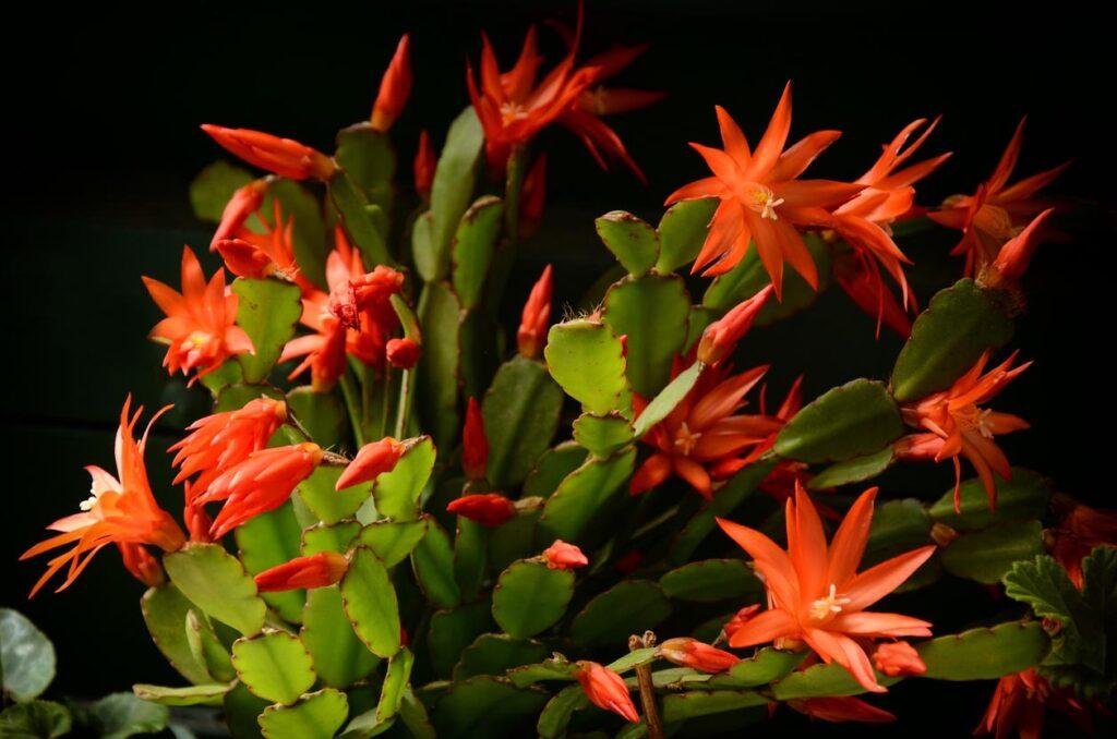 Belles fleurs rouges de cactus de Noël Schlumbergera