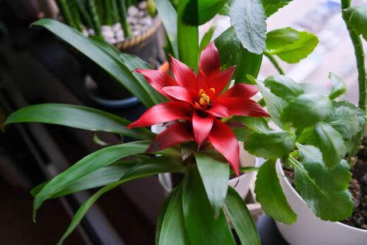superbe plante guzmania