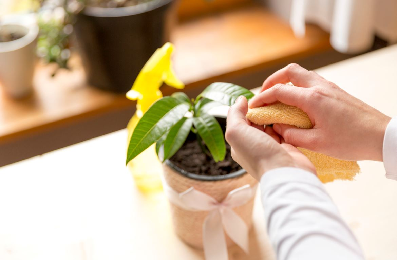 Nettoyer Plantes Vertes