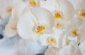 Orchidée Fleurs
