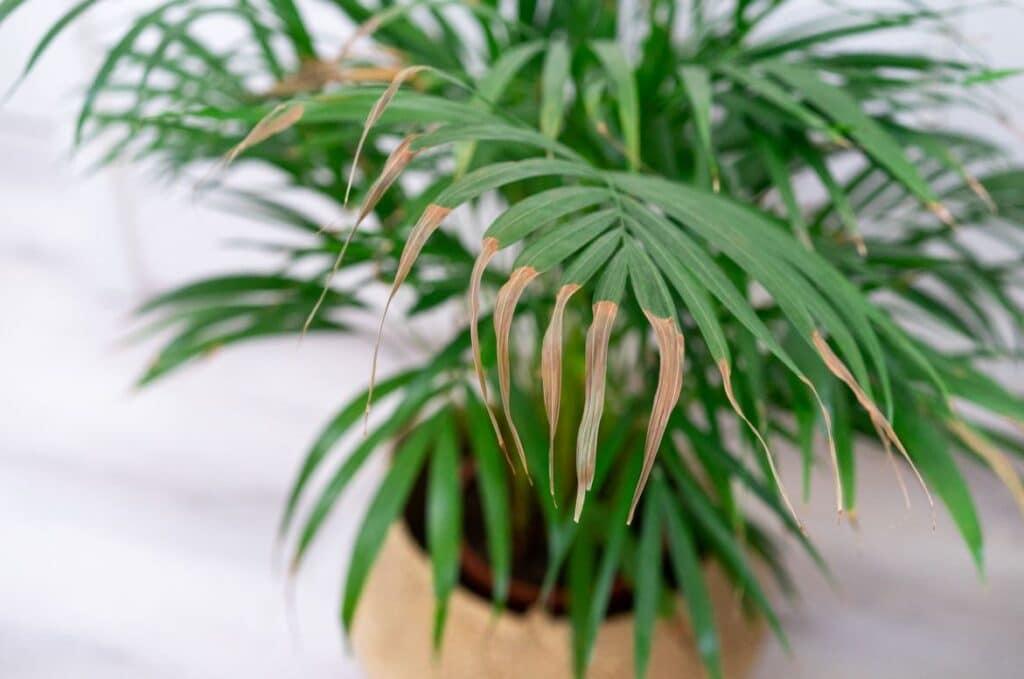 Plante D'intérieur Perd Ses Feuilles