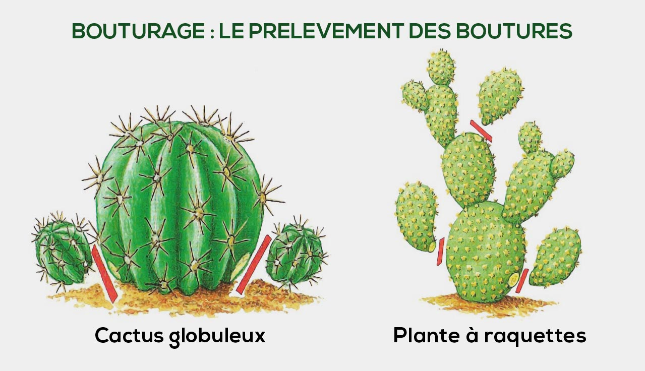 Prelevement Bouture Cactus