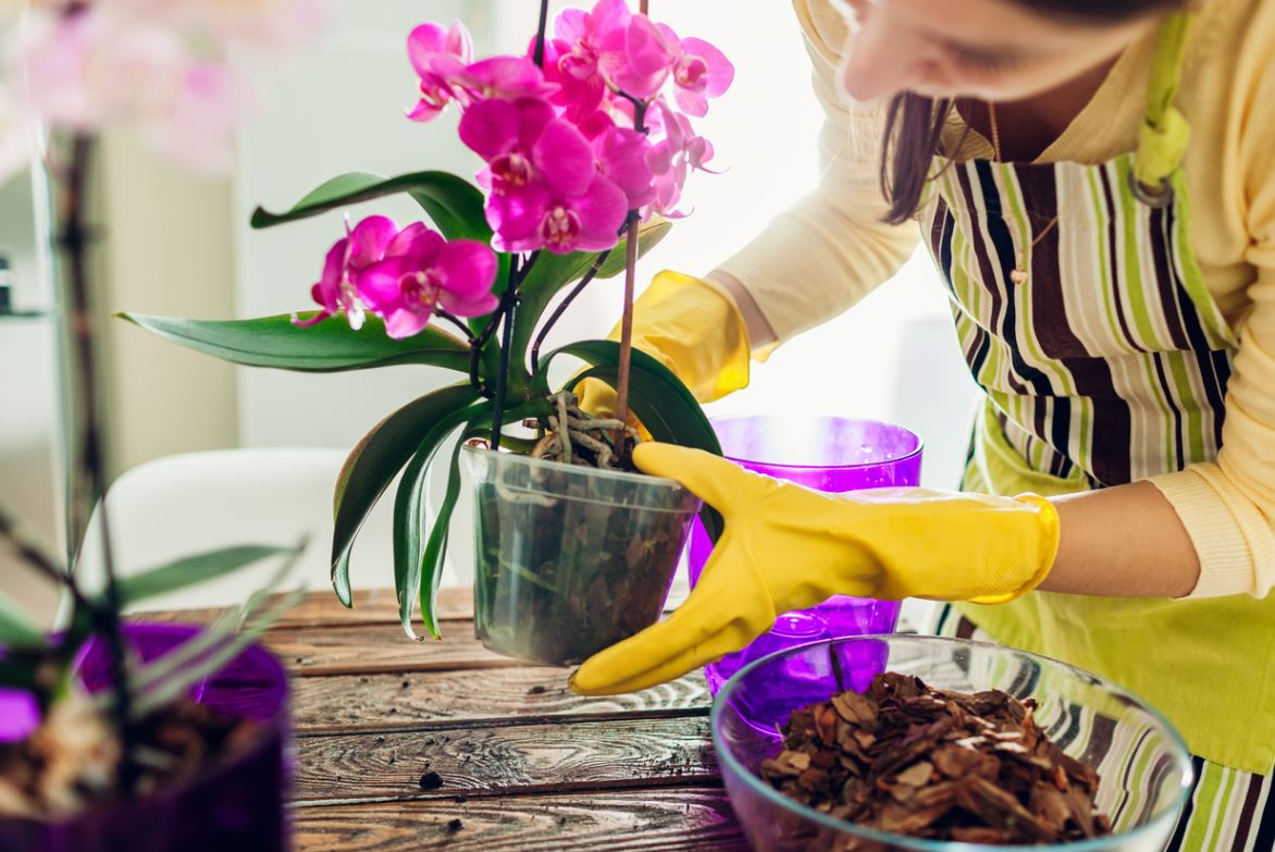 Prendre Soin Orchidée En Pot