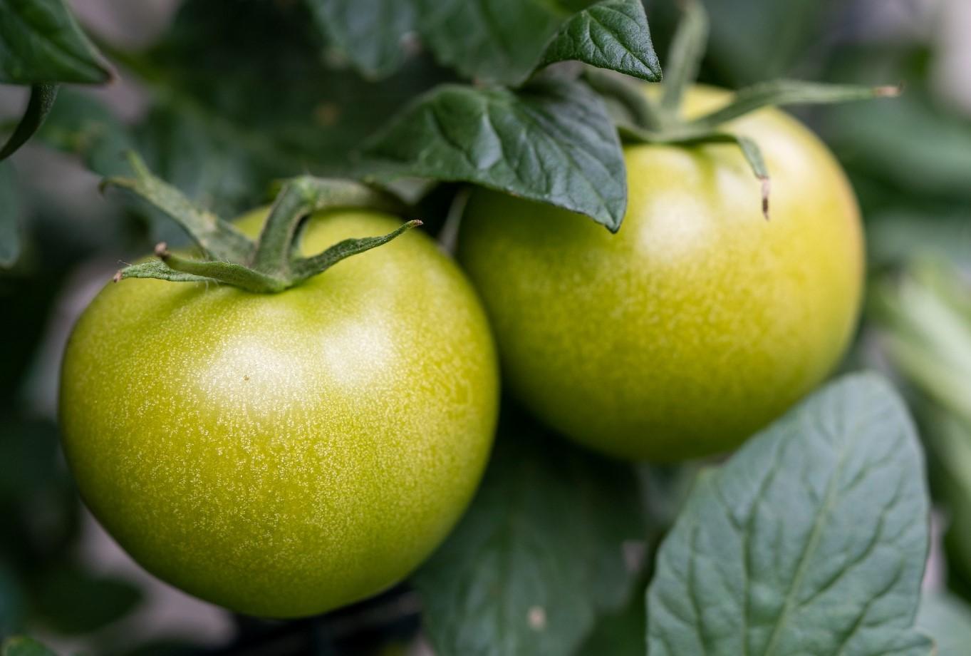 Tuteurer Les Tomates Pour Une Culture Réussie